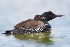 Common Loons (Peter Stahl Photography) Tags: commonloon loon chick islelake