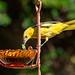Worms or Jelly ???  .... Explored (alicecahill) Tags: ca california usa wild ©alicecahill sanluisobispocounty bird slocounty hoodedoriole backyard oriole animal