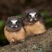 Northern Saw-whet Owl (Turk Images) Tags: aegoliusacadicus aspenparkland northernsawwhetowl alberta birds nsow strigidae thorhild