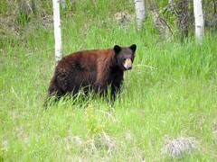 Black Bear in the distance (pamfromcalgary) Tags: animal bear pamhawkes