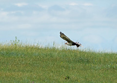 ferruginous hawk 1 (foxtail_1) Tags: panasoniclumixg9 panasonicg9 lumixg9 panasoniclumix100400 theodorerooseveltnationalpark nationalpark ferruginoushawk hawk buteoregalis