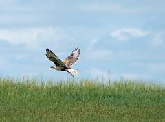 ferruginous hawk 3 (foxtail_1) Tags: panasoniclumixg9 panasonicg9 lumixg9 panasoniclumix100400 theodorerooseveltnationalpark nationalpark ferruginoushawk hawk buteoregalis