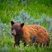 A bear of Yellowstone (debamalya.chatterjee) Tags: wildlife wildlifephotography nature naturephotography yellowstone yellowstonenationalpark nationalpark