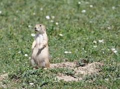 prairie dog 1 (foxtail_1) Tags: blacktailedprairiedog cynomysludovicianus prairiedog theodorerooseveltnationalpark nationalpark northdakota lumixg9 panasonicg9 panasoniclumixg9 panasoniclumix100400