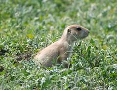 prairie dog 2 (foxtail_1) Tags: blacktailedprairiedog cynomysludovicianus prairiedog theodorerooseveltnationalpark nationalpark northdakota lumixg9 panasonicg9 panasoniclumixg9 panasoniclumix100400