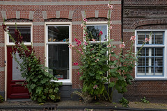 Mallow of Edam (Julysha) Tags: mallow flowers plant acr thenetherlands noordholland town street windows 2019 d850 sigma241054art edam summer july