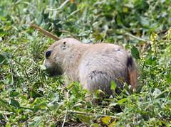 young prairie dog (foxtail_1) Tags: blacktailedprairiedog cynomysludovicianus prairiedog theodorerooseveltnationalpark nationalpark northdakota lumixg9 panasonicg9 panasoniclumixg9 panasoniclumix100400