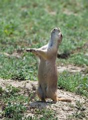perfect pitch (foxtail_1) Tags: blacktailedprairiedog cynomysludovicianus prairiedog theodorerooseveltnationalpark nationalpark northdakota lumixg9 panasonicg9 panasoniclumixg9 panasoniclumix100400