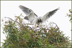 Parenting 8104 (maguire33@verizon.net) Tags: elanusleucurus pradoregionalpark whitetailedkite bird birdofprey kite raptor wildlife