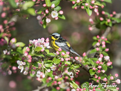framed in flowers (Anne Marie Fraser) Tags: magnolia warbler magnoliawarbler nature spring wildlife bird flowers framed