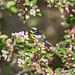 framed in flowers (Anne Marie Fraser) Tags: magnolia warbler magnoliawarbler nature spring wildlife bird flowers framed