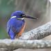 azure kingfisher (Ceyx azureus) -8216 (rawshorty) Tags: rawshorty birds australia nsw portmacquarie