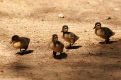 Ducklings 1 (Emily K P) Tags: shalomwildlifezoo wildlifesanctuary wildlife animal zoo sanctuary shalom duck bird mallard duckling baby group four cute brown tan beige
