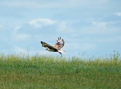 ferruginous hawk 2 (foxtail_1) Tags: panasoniclumixg9 panasonicg9 lumixg9 panasoniclumix100400 theodorerooseveltnationalpark nationalpark ferruginoushawk hawk buteoregalis