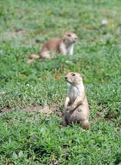prairie dog 4 (foxtail_1) Tags: panasoniclumixg9 panasonicg9 lumixg9 panasoniclumix100400 theodorerooseveltnationalpark nationalpark blacktailedprairiedog cynomysludovicianus prairiedog