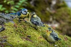 (katrinlillenthal) Tags: birds beautyinnature nature