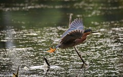 Off to better hunting grounds - Green Heron (foto tuerco) Tags: green heron takeoff oregon