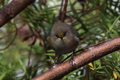 Zoizo lunettes blanc (zosterops borbonicus) (Nathan Quentin) Tags: bird reunion island tropical mountain oiseau endémique endemic