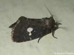 Elusa puncticeps (GeeC) Tags: noctuoidea animalia cambodia nature noctuidae arthropoda tatai kohkongprovince insecta lepidoptera elusapuncticeps elusa butterfliesmoths ឃុំឫស្សីជ្ kohkong