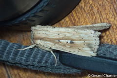 Mythimna sp. nr decisissima (GeeC) Tags: noctuinae noctuoidea animalia mythimna noctuidae lepidoptera nature kohkongprovince cambodia arthropoda insecta tatai butterfliesmoths ឃុំឫស្សីជ្ kohkong