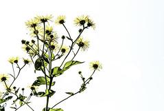 Contrejour (Gilles Meunier photo) Tags: highkey flowers sun jaune yellow fleurs jardinbotaniquedemontreal montrealbotanicalgarden