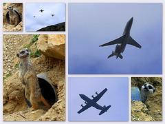 Les suricates et les avions (Raymonde Contensous) Tags: parczoologiquedeparis zoodevincennes suricates nature animal avions collage