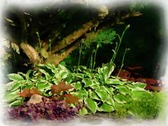"Photo Series: Life in Drumbo:  ""The hosta nest"" (Ken Whytock) Tags: hosta garden yard plants summer greens trunk drumbo"