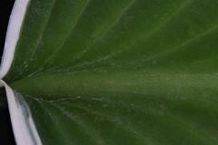 hosta leaf (Stanley Wood) Tags: macromondays patternsinnature leaf hosta
