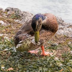 Duck (raymond_zoller) Tags: canoneos6dmarkii ente lightroom sigmaapomacro150mmf28exdgoshsm duck утка
