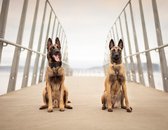 Aspen & Seely (Kate McLellan) Tags: malinois rescue woofproject