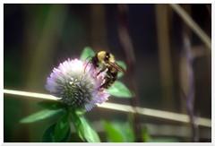 Summer - 1 (of 37) - Sony A77 II with Hoya Cross Screen Filter on Sony DT 55-200 mm 1:4.0-5.6 Zoom (Logos: The Art of Photography) Tags: buttertubsmarsh sonya77ii hoya starfilter crossscreenfilter sonydt55200mm14056zoom bee beeflower
