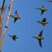 Swift Parrots in flight, Truganina Park, Altona Meadows, VIC (cembot66) Tags: