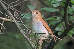 Veery (Alan Gutsell) Tags: veery thrush songbird migration summer kentucky mammothcaves nationalpark wildlife natiure alan catharusfuscescen brown fast