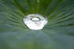 Droplet on Lotus leaf (joka2000) Tags: macromondays patternsinnature lotus leaf droplet
