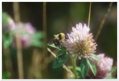 Summer - 33 (of 37) - Sony A77 II with Hoya Cross Screen Filter on Sony DT 55-200 mm 1:4.0-5.6 Zoom (Logos: The Art of Photography) Tags: buttertubsmarsh sonya77ii hoya starfilter crossscreenfilter sonydt55200mm14056zoom bee beeflower