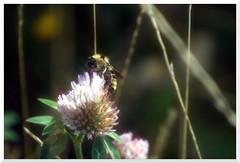 Summer - 35 (of 37) - Sony A77 II with Hoya Cross Screen Filter on Sony DT 55-200 mm 1:4.0-5.6 Zoom (Logos: The Art of Photography) Tags: buttertubsmarsh sonya77ii hoya starfilter crossscreenfilter sonydt55200mm14056zoom bee beeflower