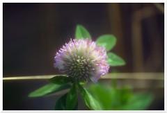 Summer - 36 (of 37) - Sony A77 II with Hoya Cross Screen Filter on Sony DT 55-200 mm 1:4.0-5.6 Zoom (Logos: The Art of Photography) Tags: buttertubsmarsh sonya77ii hoya starfilter crossscreenfilter sonydt55200mm14056zoom bee beeflower