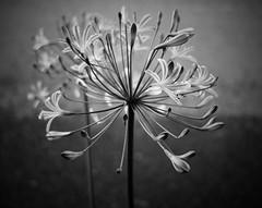 Flower - B&W (Bill Morgan) Tags: fujifilm fuji xpro2 23mm f2 bw jpeg acros alienskin exposurex4