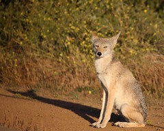 Coy (Gunn Shots (On and off these days)) Tags: coyote sitting wildlife