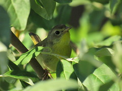 Common Yellowthroat Female (amyboemig) Tags: sandhillroad sand hill road wetland bird songbird common yellowthroat yellow throat july summer