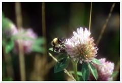 Summer - 34 (of 37) - Sony A77 II with Hoya Cross Screen Filter on Sony DT 55-200 mm 1:4.0-5.6 Zoom (Logos: The Art of Photography) Tags: buttertubsmarsh sonya77ii hoya starfilter crossscreenfilter sonydt55200mm14056zoom bee beeflower