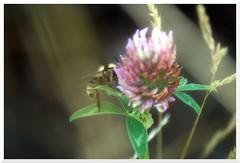 Summer - 37 (of 37) - Sony A77 II with Hoya Cross Screen Filter on Sony DT 55-200 mm 1:4.0-5.6 Zoom (Logos: The Art of Photography) Tags: buttertubsmarsh sonya77ii hoya starfilter crossscreenfilter sonydt55200mm14056zoom bee beeflower