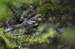 Yellow-rumped Warbler (Audubon's) (Christopher Lindsey) Tags: skamaniacounty adult male birds bird birding washington yellowrumpedwarbler audubons