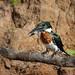 Amazon Kingfisher ♂ (Bruno Conjeaud) Tags: