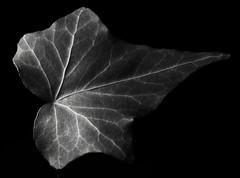 Ivy (j.towbin ©) Tags: allrightsreserved© leaf ivy lowkey macro bw monochrome pattern naturalpattern img0467 macromondays ef100mmf28lmacroisusm patternsinnature