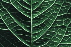 HMM... (Yures) Tags: green leaf macro nature macromondays patternsinnature