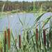 Blick über den See (Gajoma) Tags: rohrkolben schilf see wasser badestelle angelstelle bäume wald