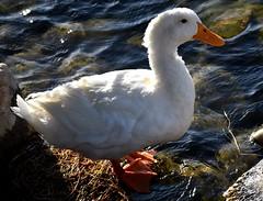 White duck (thomasgorman1) Tags: white duck shore river water shoreline arizona waterfowl birds bird nikon