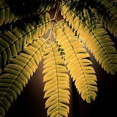 >>>>>>>>>> (ghiro1234 [♀]) Tags: macromondays patternsinnature hipstamatic albizia nelmiogiardino inmygarden robertaghidossi ghiro1234♀ luce