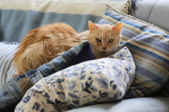the princess on the pea (photos4dreams) Tags: misschillipepper photos4dreams photos4dreamz p4d photos chilli photo pics mainecoon female cat ginger red rot fluffy katze canoneos5dmark3 canoneos5dmarkiii